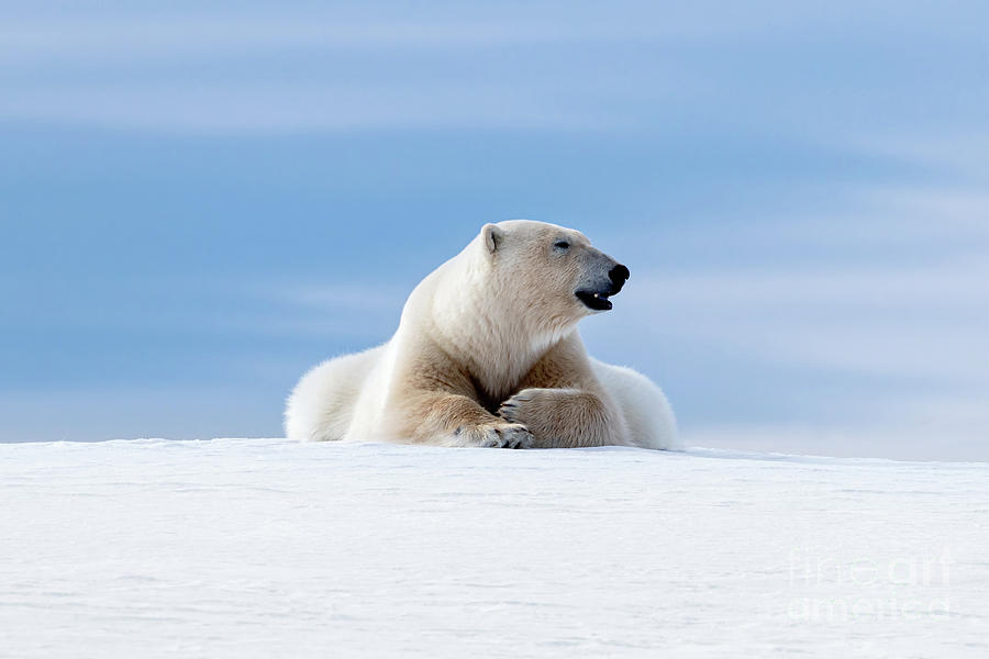 Polar bear laying on the frozon snow of Svalbard by Jane Rix