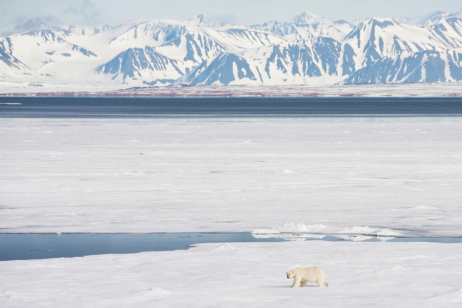 Polar Bear On Arctic Sea Ice Photograph by Nailzchap