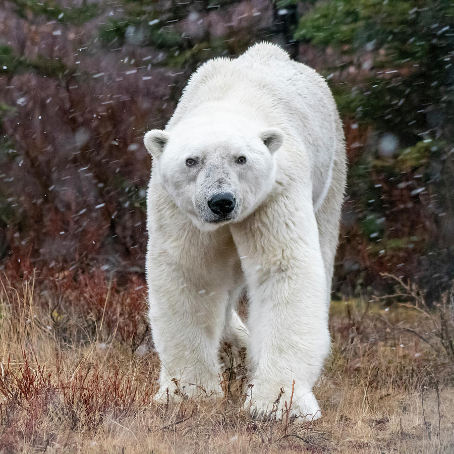 Polar Bear Portrait by Mark Hunter