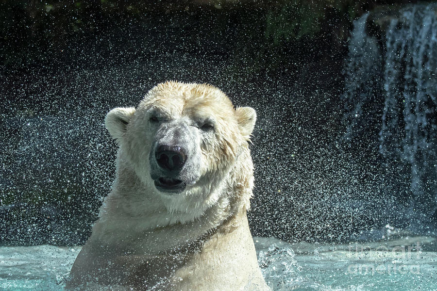 Polar Bear Shaking Head Dry by Arterra Picture Library