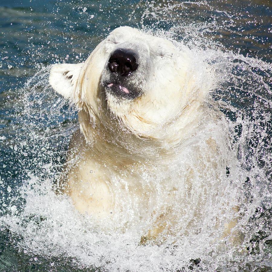 Polar Bear Photograph - Polar Bear Shaking Off Water by Edward Fielding
