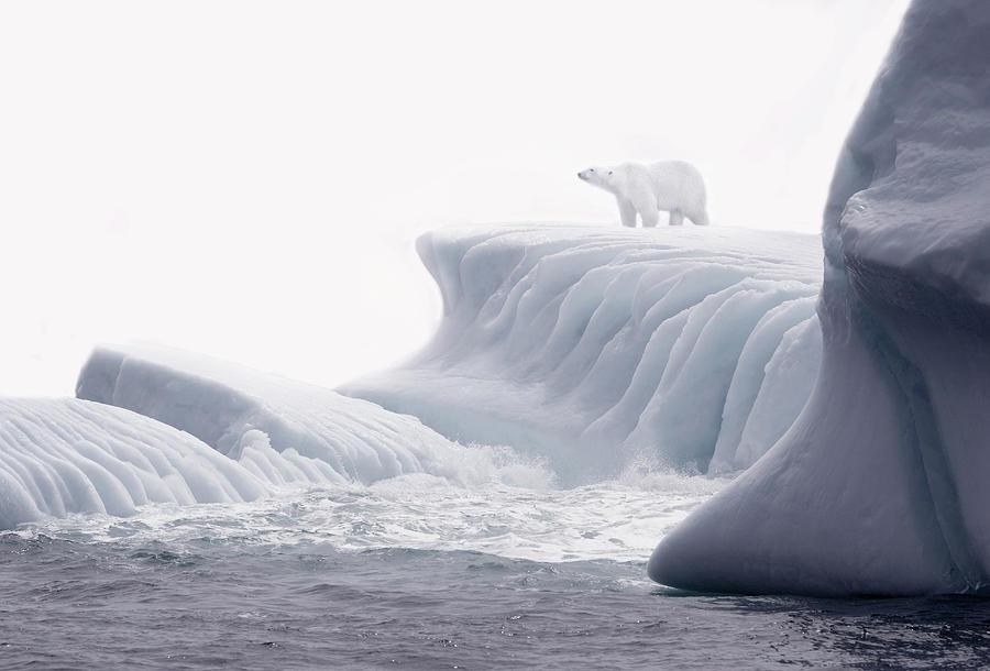 Polar Bear Standing On Ice Flow Photograph by Grant Faint