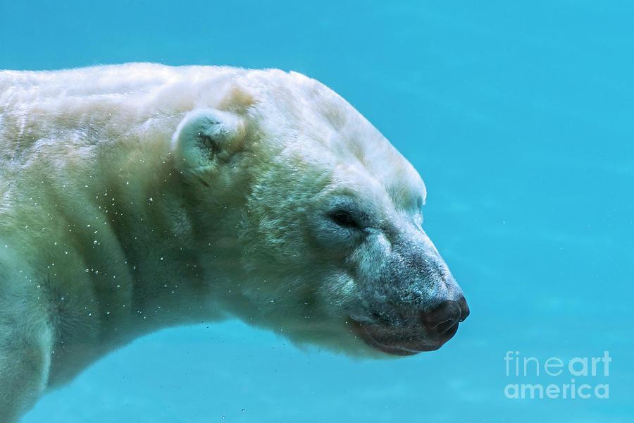Polar Bear Underwater by Arterra Picture Library