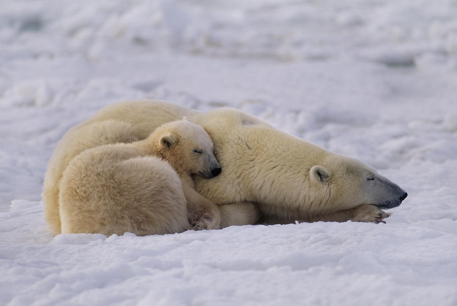 Polar Bear With Cub, Ursus Maritimus by MINT IMAGES