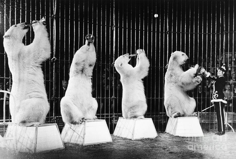 Polar Bears Play Horns In Circus Act Photograph by Bettmann