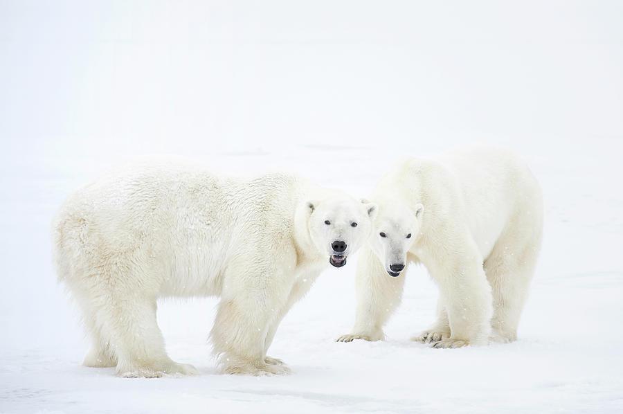 Polar Bears Standing On Snow After Photograph by Chris Hendrickson