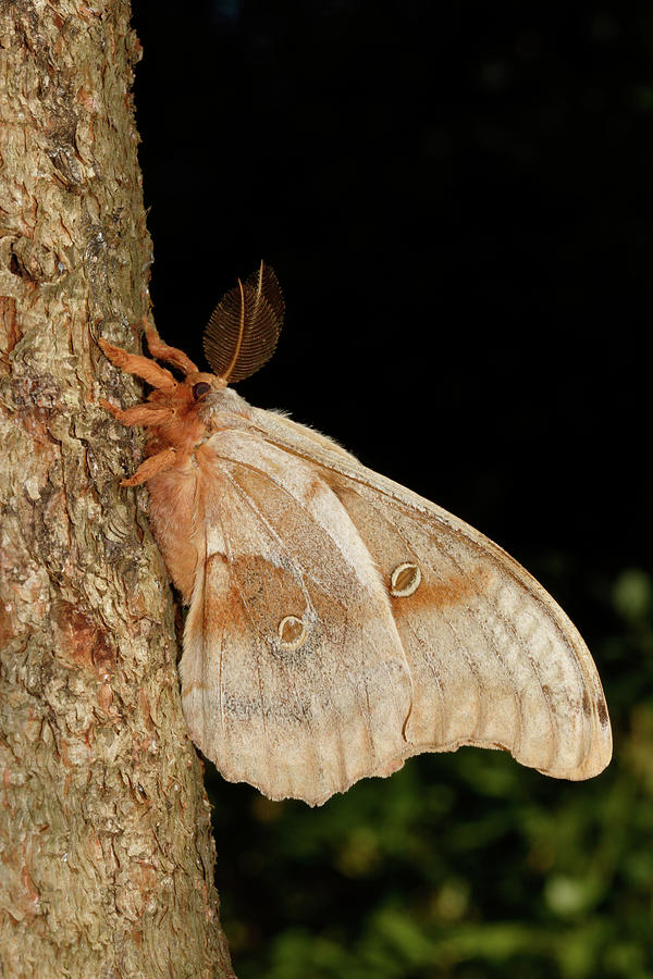 Polyphemus Moth Antheraea Polyphemus Photograph by David Kenny