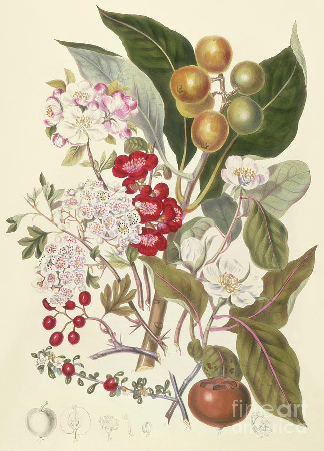 Apple Drawing - Pomaceae, The Apple Tribe  by English School