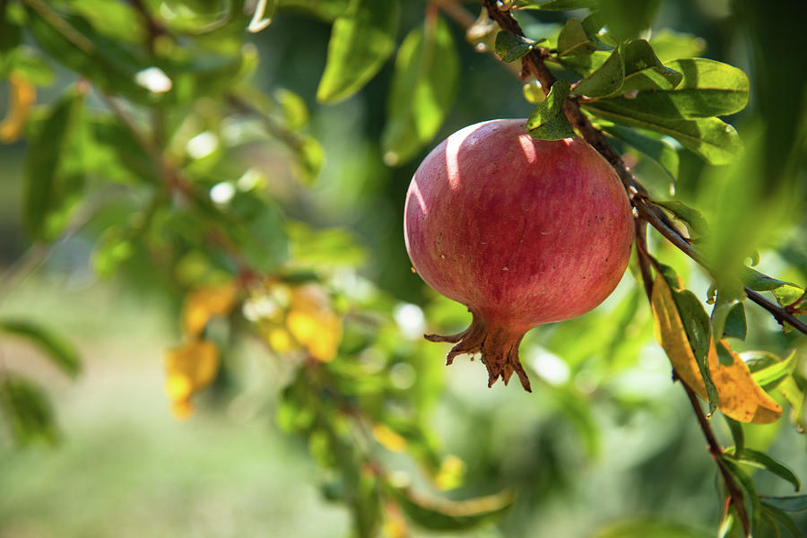 Pomegranate  Growing On A Tree Branch On Day Light Photograph