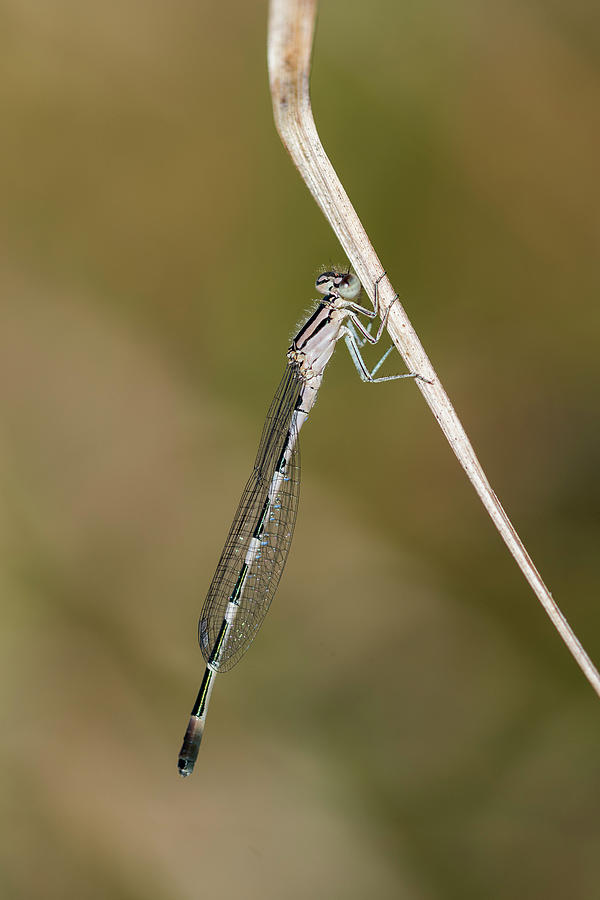 Pond Damselfly on Grass by Robert Potts