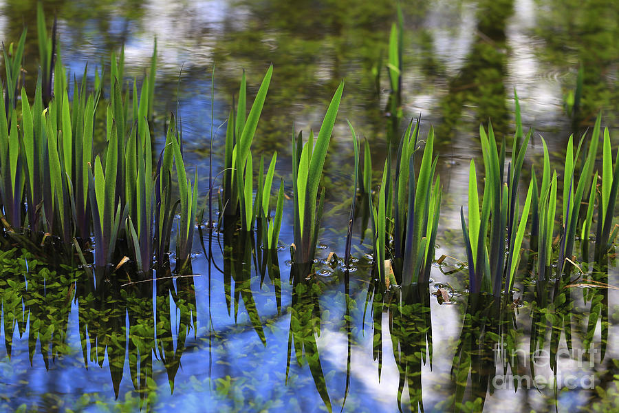 Pond Plants In Reflection Photograph
