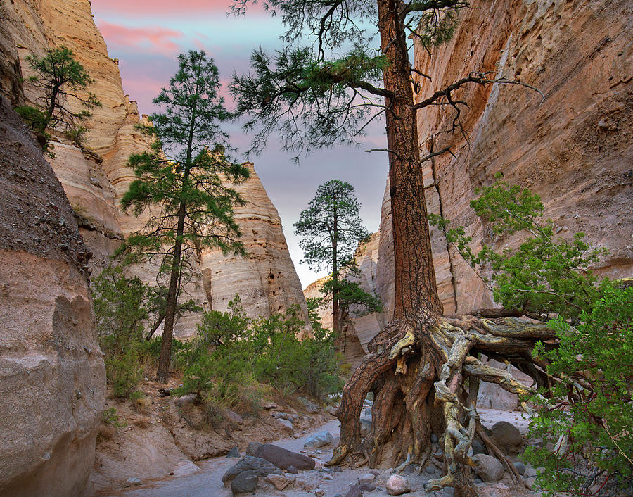 Mp Photograph - Ponderosa Pines In Slot Canyon by Tim Fitzharris