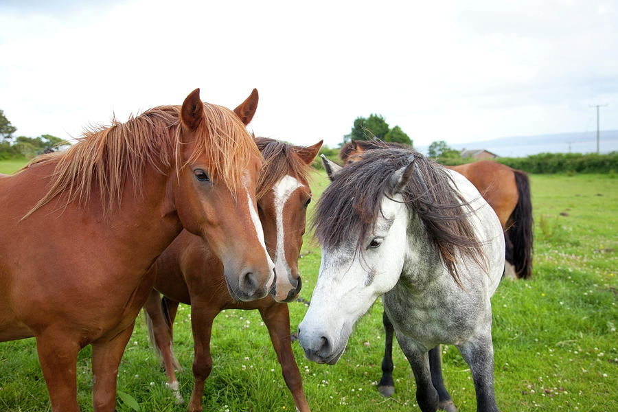 Ponies In A Paddock Photograph by Sashafoxwalters