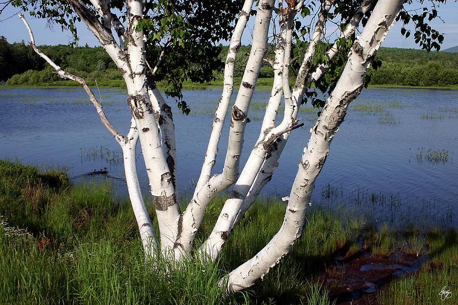 Birch Photograph - Pontook Birch by Wayne King