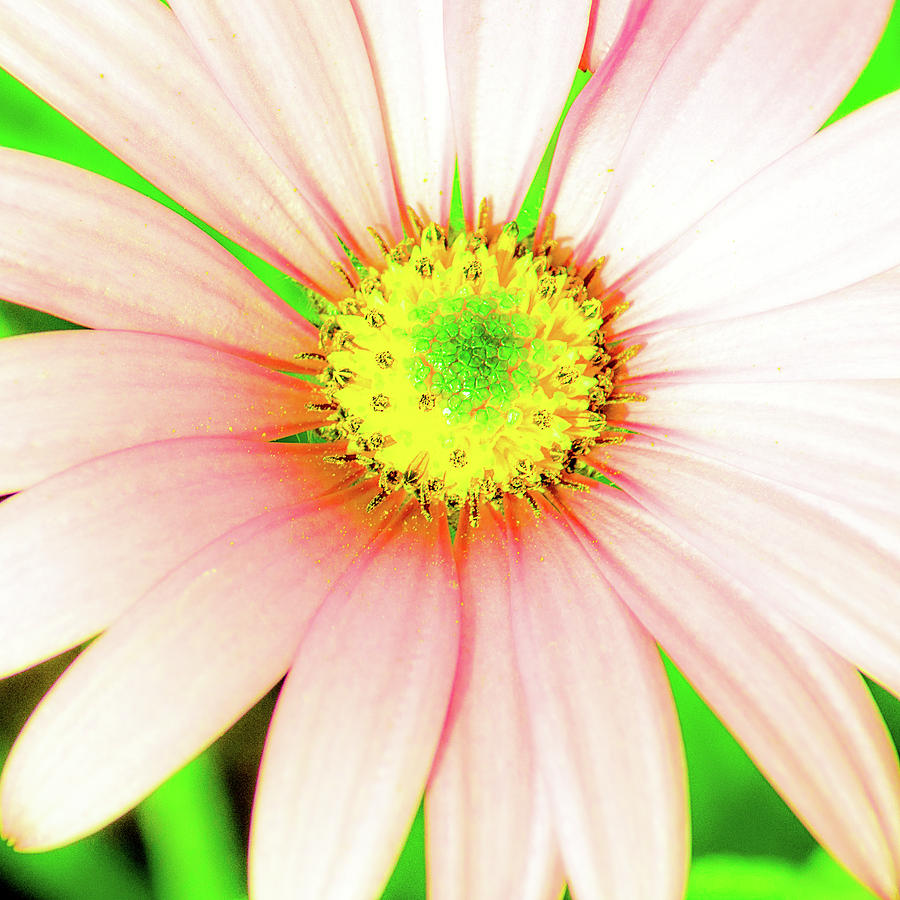 Pop Art Osteospermum 1 by Le Comp