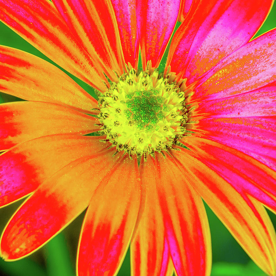 Pop Art Osteospermum 2 by Le Comp