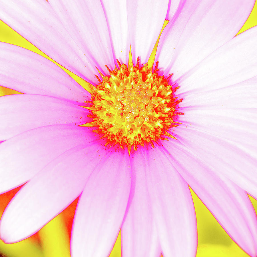 Pop Art Osteospermum 3 by Le Comp
