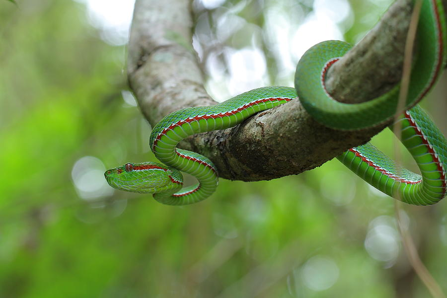 Popes Green Pit Viper Photograph by Bug Eye Thailand