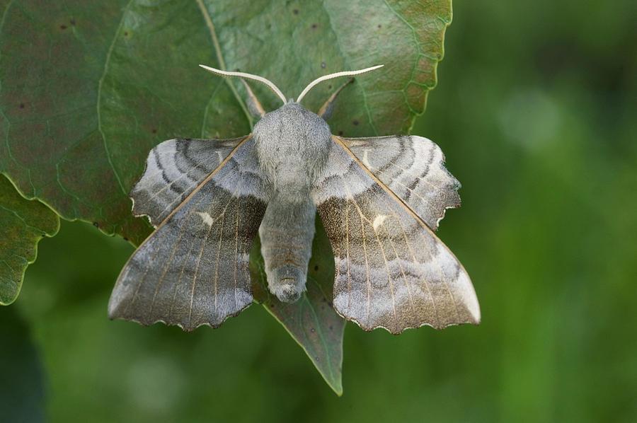 Adult Photograph - Poplar Hawk Moth by Nigel Cattlin