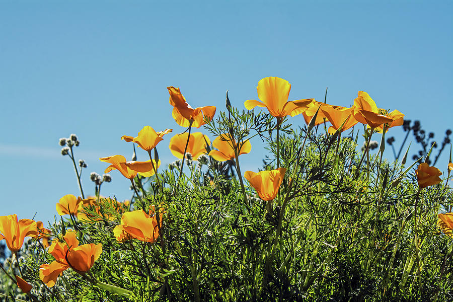 Poppies 5665-030519 by Tam Ryan