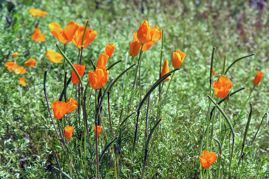 Poppies 5776-031419 by Tam Ryan