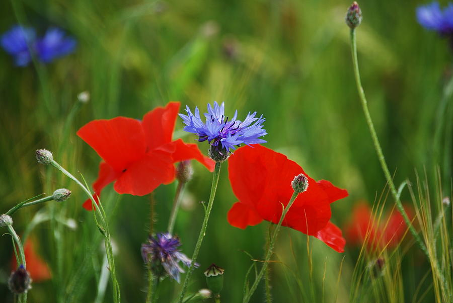 Poppies and Cornflowers by Sonja Jones