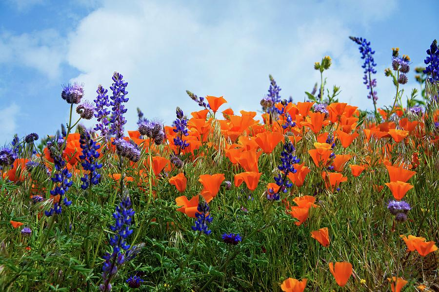 Poppies and Lupines Against a Beautiful Blue Sky by Lynn Bauer