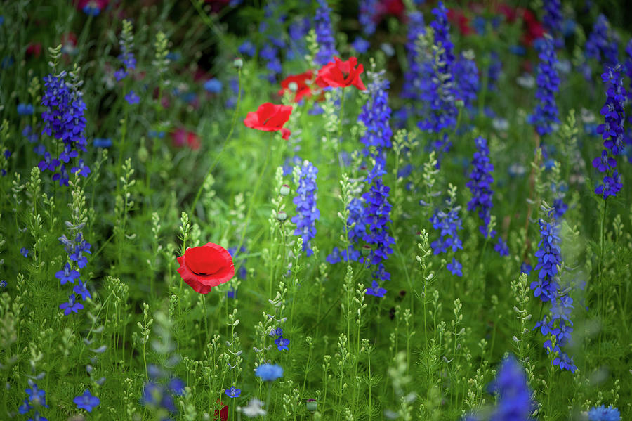 Poppies and Wildflowers by Mark Duehmig