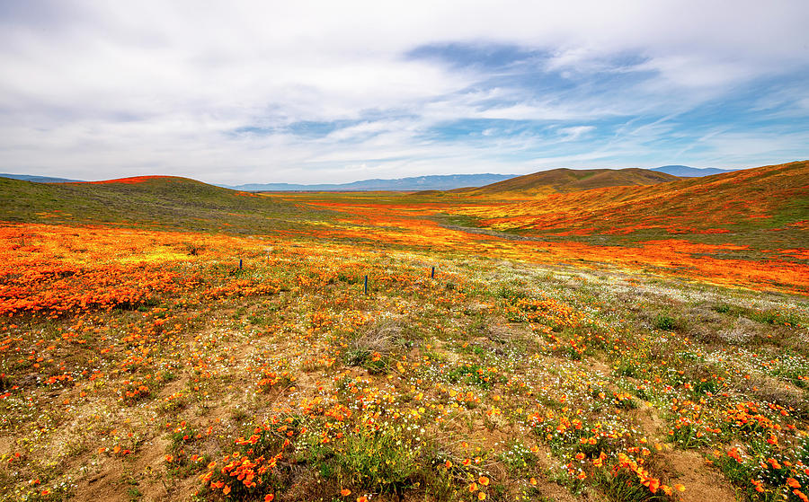 Poppies As Far As The Eye Can See by Gene Parks