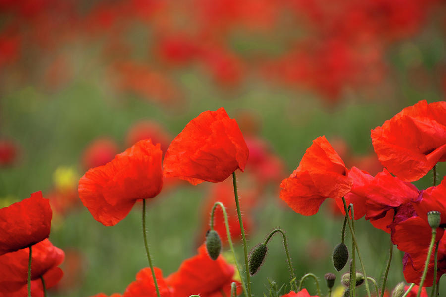 Poppies Photograph by Copyright Wild Vanilla