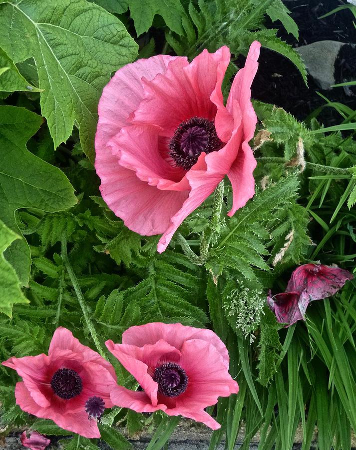 Poppies by Ellen Paull
