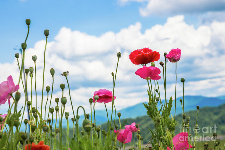 Poppies in the Mountains by Lisa Lemmons-Powers