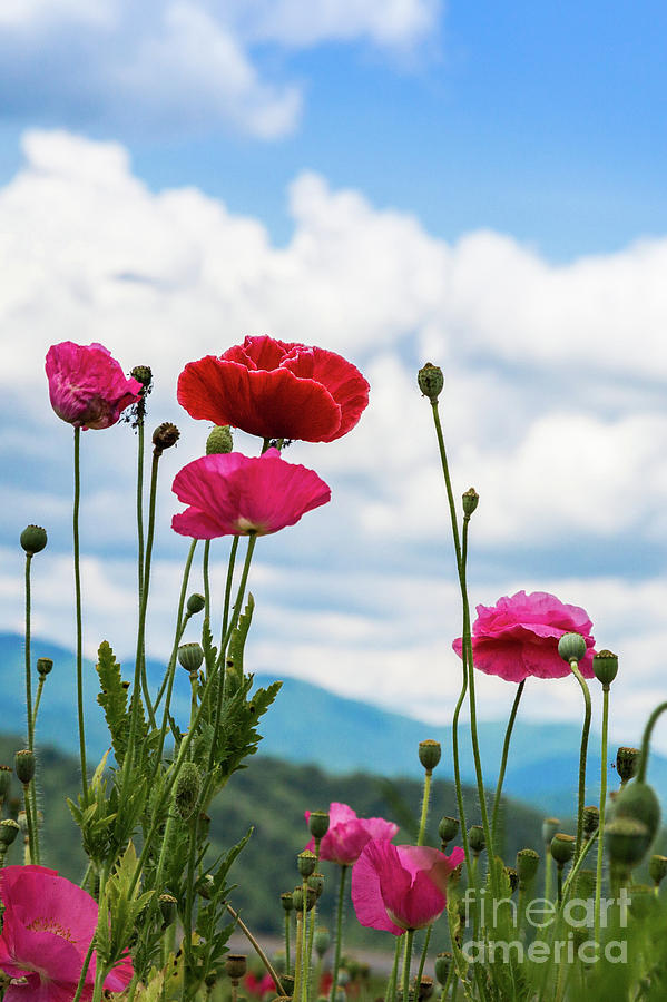 Poppies in the Sky by Lisa Lemmons-Powers