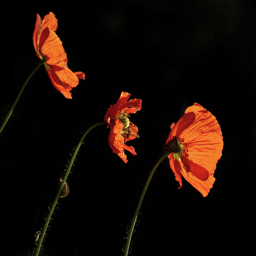 Poppies Photograph - Poppies in the Sun by Cheryl Day