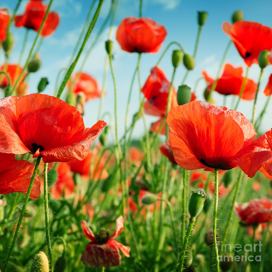 Beauty Photograph - Poppies On Green Field by Serg64