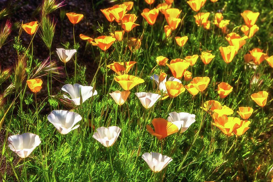 Poppies by Rick Furmanek