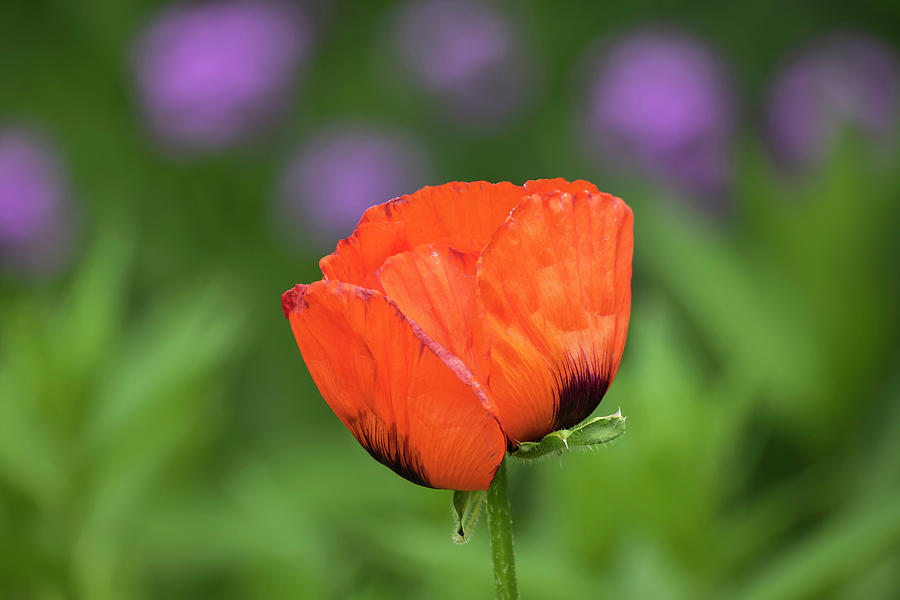Poppy 2019-1 by Thomas Young