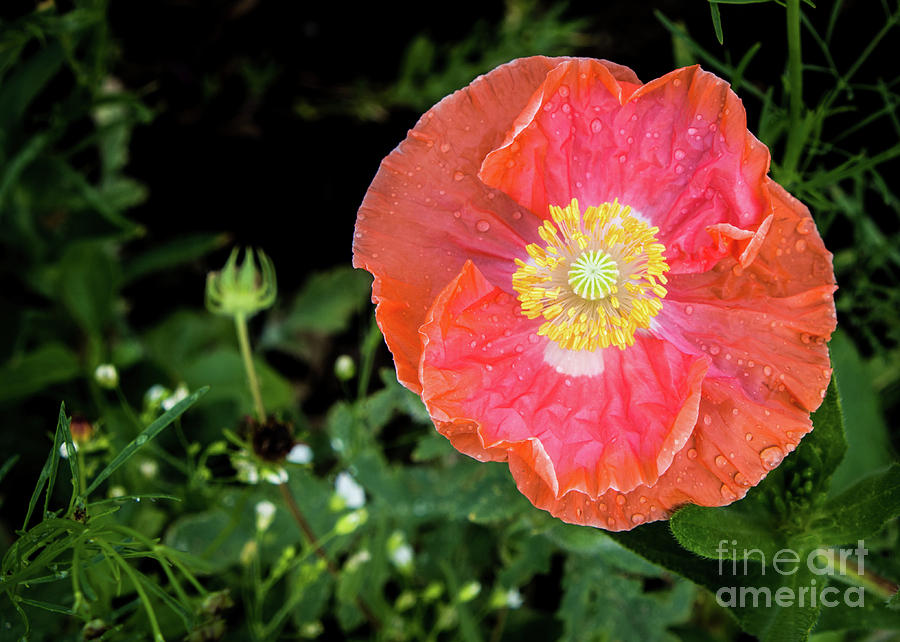 Poppy by Cheryl McClure