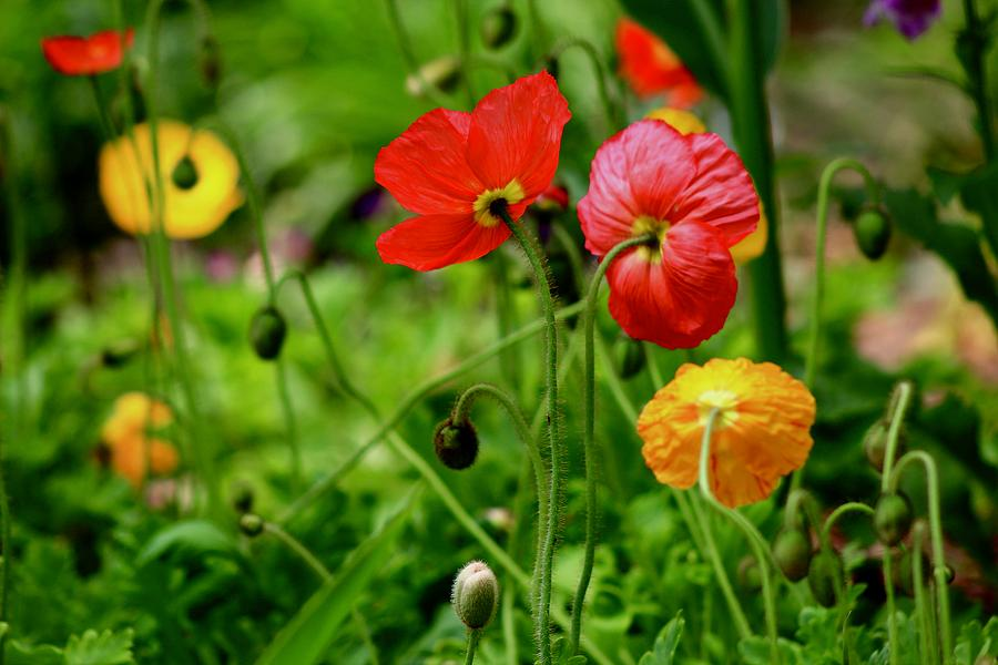 Poppy Dance by Kevin Wheeler