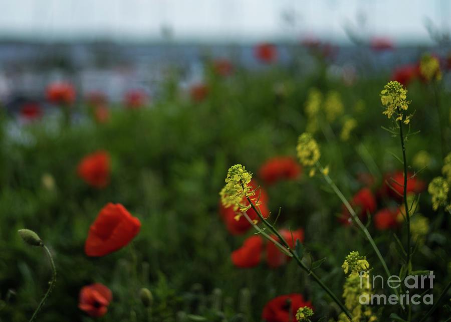 Poppy Field by Jan Daniels