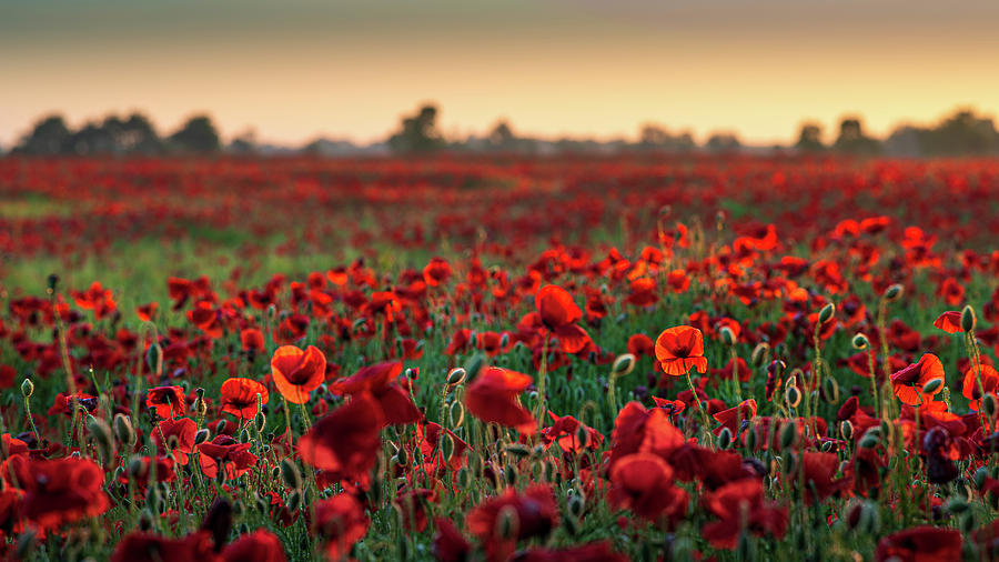 Poppy field sunrise 2 by James Billings