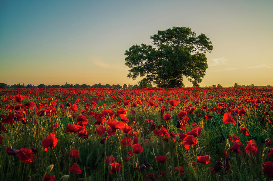 Poppy field sunrise 4 by James Billings