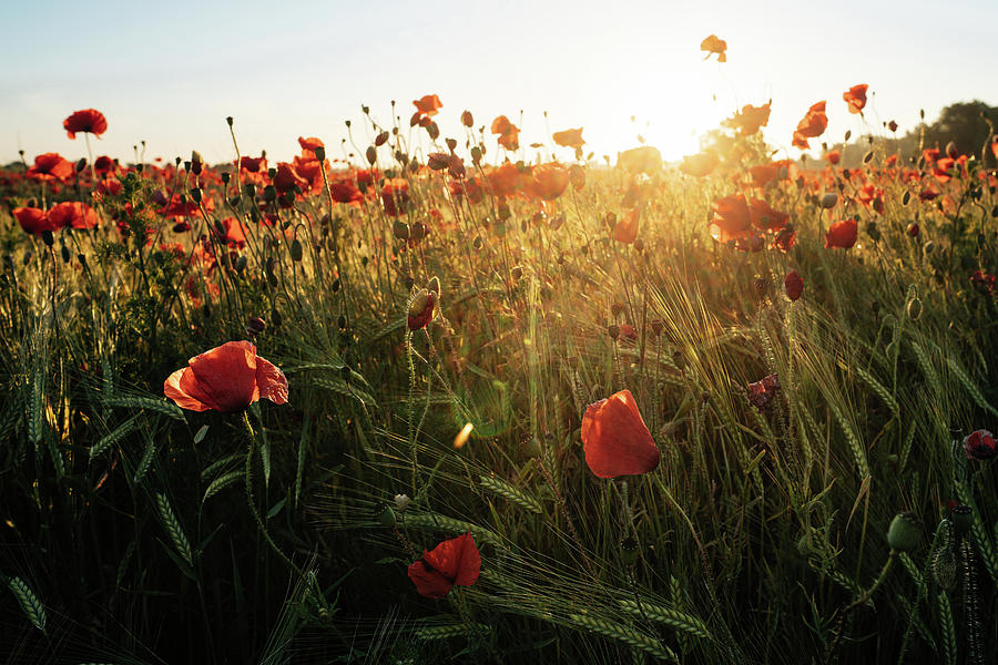 Poppy field sunrise 6 by James Billings