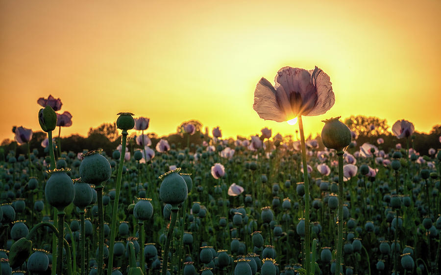 Poppy Field Sunset by Framing Places