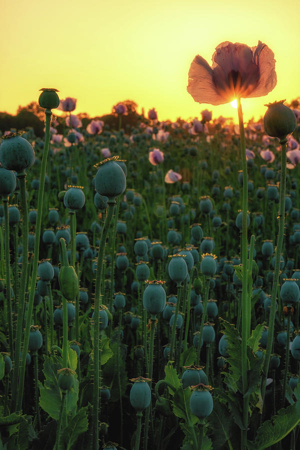 Poppy Field Sunset Portrait by Framing Places