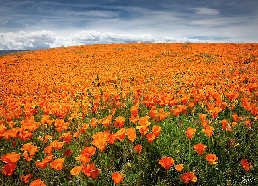 Poppy Fields Forever by Endre Balogh