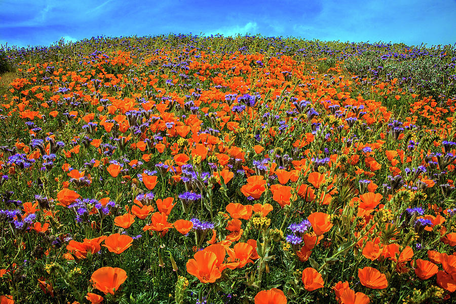 Poppy Hill at the Reserve - Superbloom 2019 by Lynn Bauer