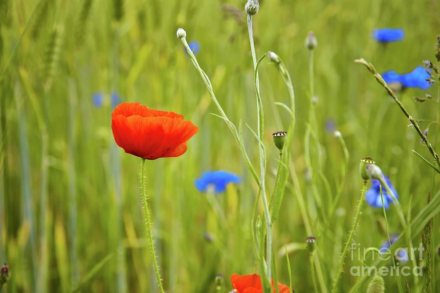Poppy In A Wheat Field Photograph