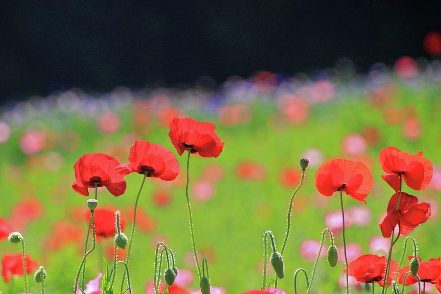 Poppy Photograph by Jun Okada
