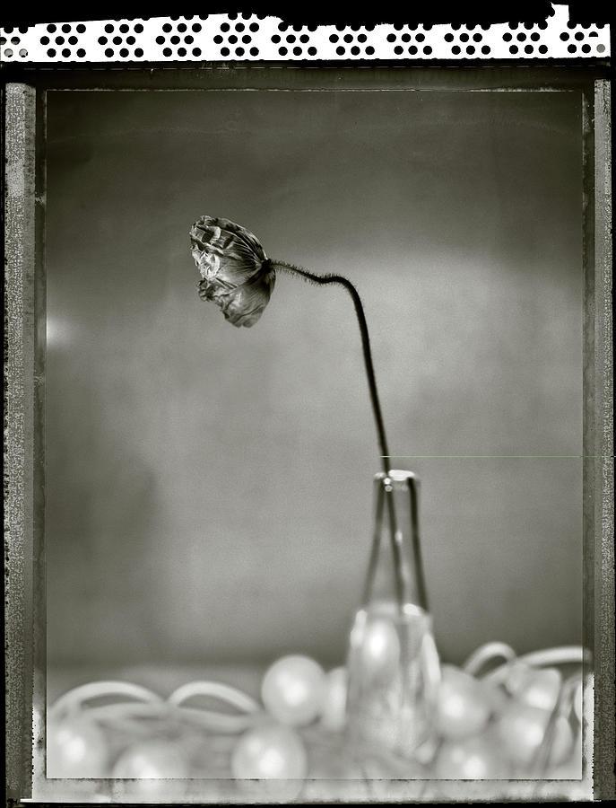 Poppy - Just Opened Photograph by T Scott Carlisle